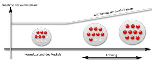 Die Aktivierung der Muskelfasern