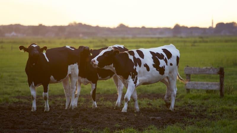 Milch als Ursprung für Molkenprotein